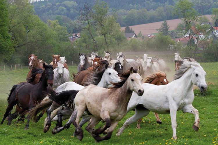 03d8429a06c3f Ein vielseitiges Pferd von der 'Grünen Insel   Das Connemara-Pony ...
