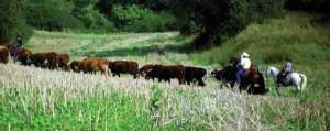 ranchviehtrieb